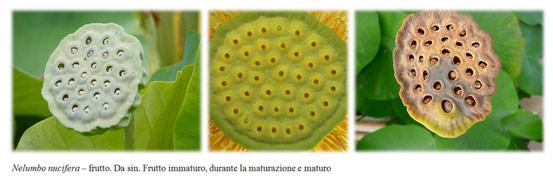 Nelumbo nucifera frutto